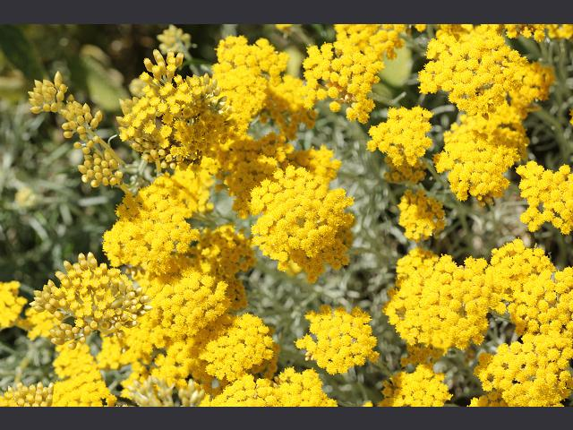 Helichrysum Italicum - Immortelle