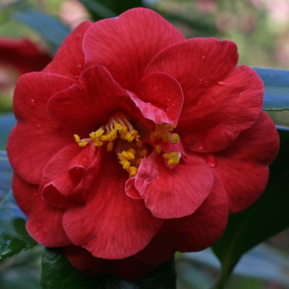 Camellia (Tea Oil)- Japanese Tsubaki
