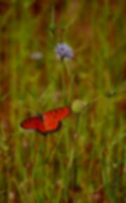 Red Butterfly Blue Wildflower NTFNC.jpg