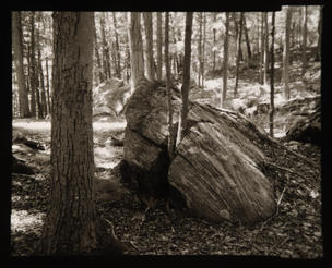 A Tree Grows in a Boulder