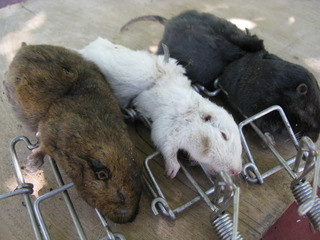 Albino and Melanistic Pocket Gophers