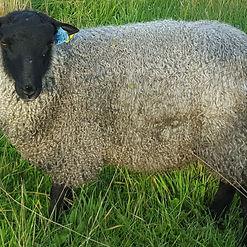 Gotland Ram Lamb.jpg