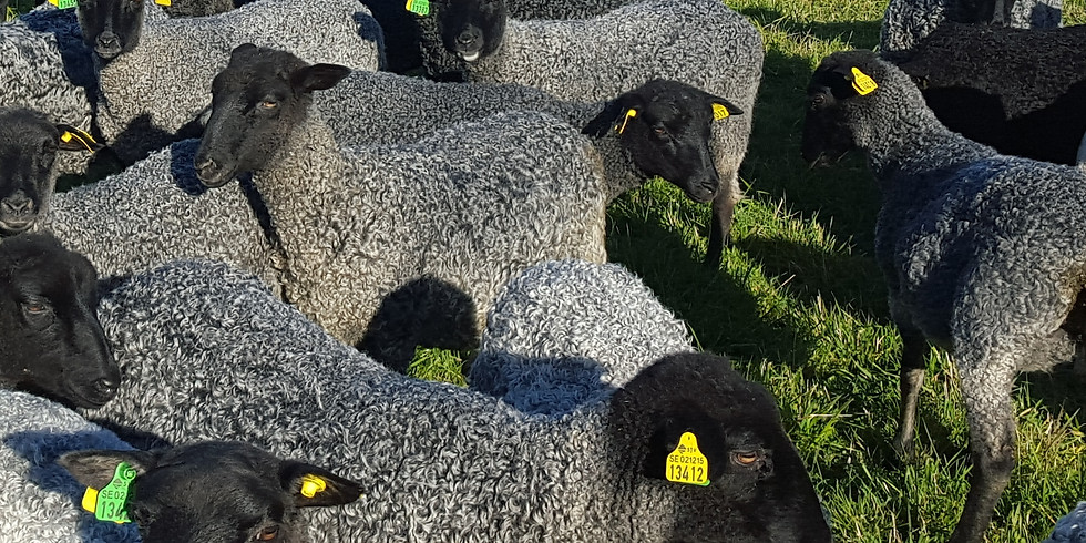 (OR) Gotland Sheep Selection & Evaluation