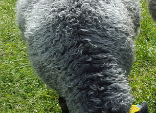 Dual purpose Gotland sheep