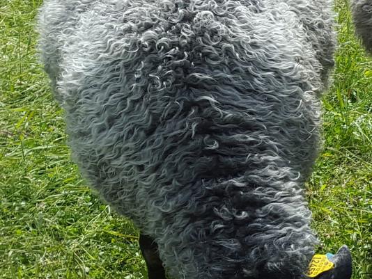 Dual purpose Gotland sheep
