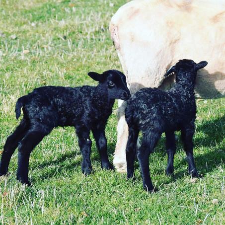 Gotland Lambs 2020