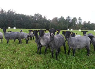 PERFORMANCE RECORDING OF GOTLAND SHEEP