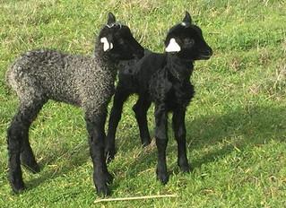 U.S Gotland Lambs 2018