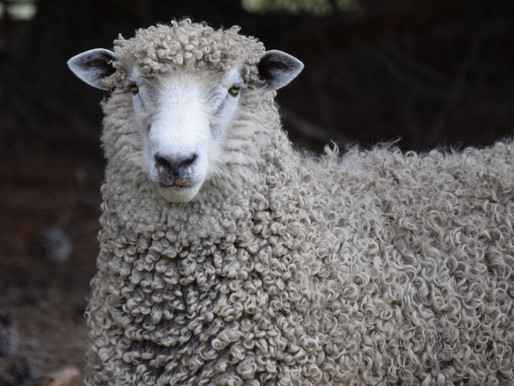 English Leicester Longwool