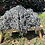 Thumbnail: Raw Lamb fleece - Gotland Sheep