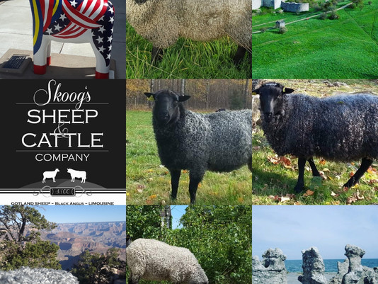 (OR) October Class - Gotland Sheep - Evaluation & Selection for breeding.