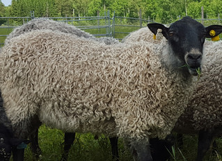 Our Gotland Rams - new EBV´s & ranking