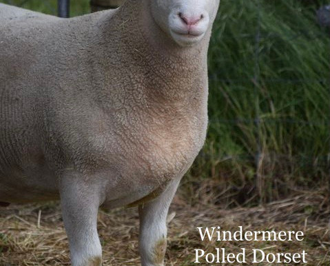 Polled Dorset AI rams