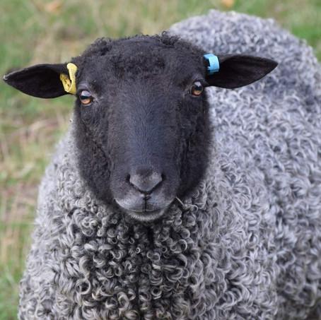 Gotland Sheep Semen for USA