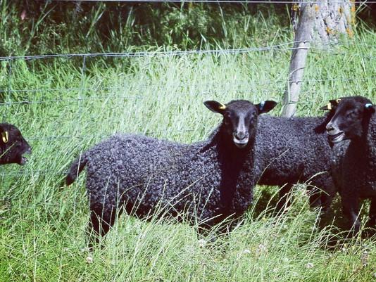 Gotland Sheep New Zealand