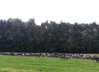 Gotland Breed Standard