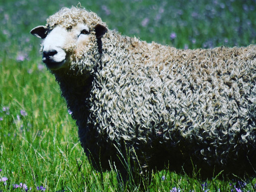 Lincoln sheep genetics