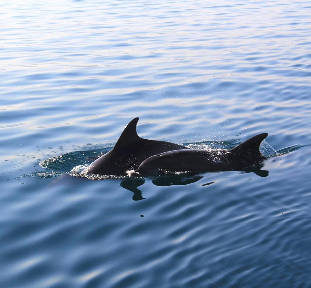 Delfine suchen und finden beim Segeln