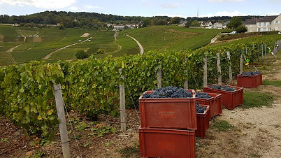 Champagne harvest in the vineyards at the village of Hautvilliers