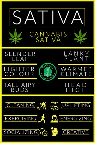 Sativa Cannabis Plant Effects, Characterisitics, Valhalla