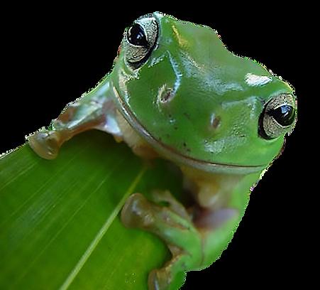 frog on leaf_edited.png