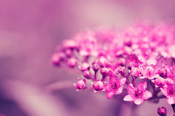 58-pink-flower-images-and-wallpapers-20