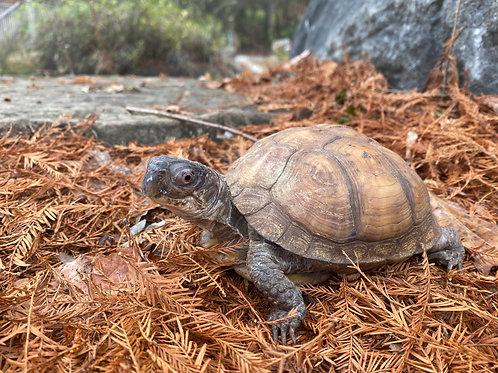 Donna - Box Turtle