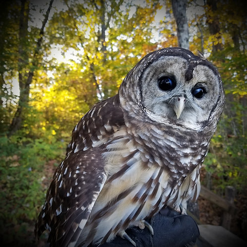 Stay-Puft - Barred Owl