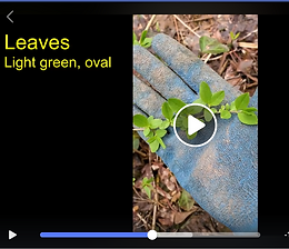 Screen shot Chinese Privet Video.PNG