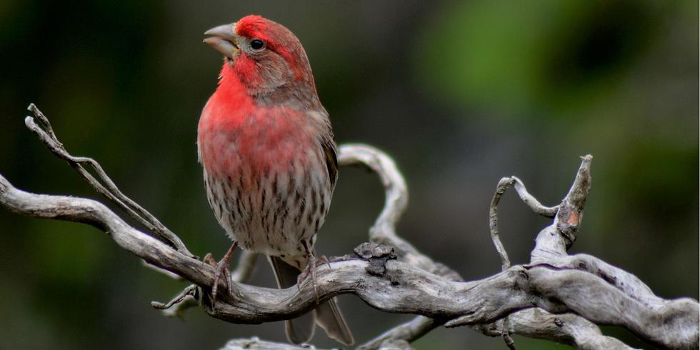 Beginning to Bird: Backyard Birds and Project Feederwatch (Adult Program)