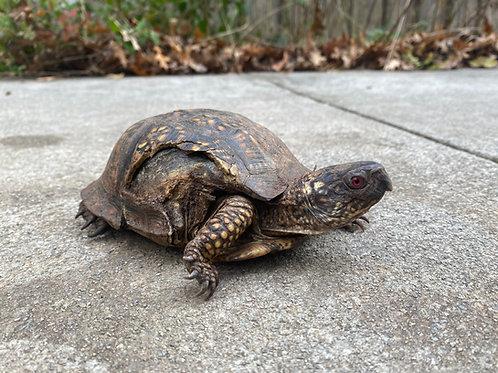 Topaz - Box Turtle