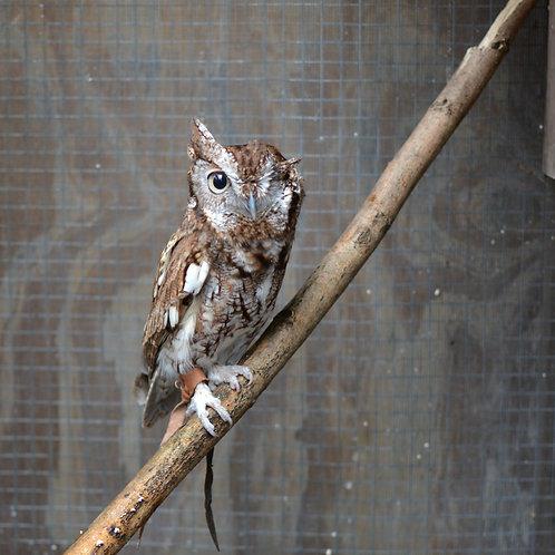 Harley - Screech Owl