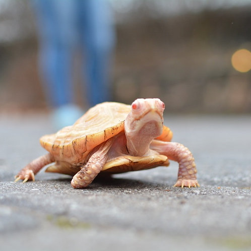 Blondie - Albino Box Turtle