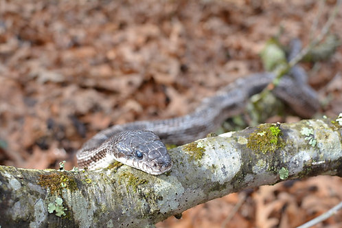 Gramps - Gray Rat Snake
