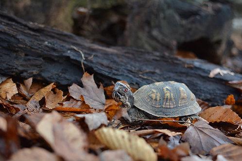 Frankenturtle - Box Turtle