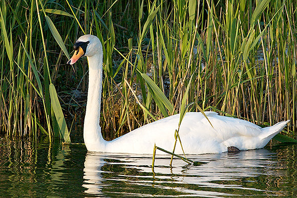 White Swan by Sally Edwards