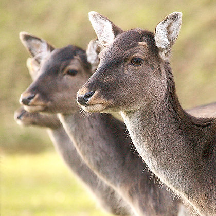 Fallow Deer by Sally Edwards