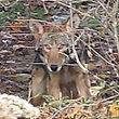 Virginia coyote control, virginia predator control, rockingham coyote control, charlottesville coyote control, richmond coyote control, staunton coyote control, augusta coyote control