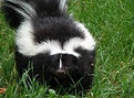 harrisonburg skunk removal, charlottesville skunk removal, staunton skunk removal, richmond skunk removal, fredricksburg skunk removal