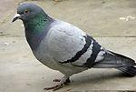 Virginia bird control, virginia pigeon control, harrisonburg birds, charlottesville birds, staunton birds, waynesboro birds, richmond pigeon control, fredricksburg starling control