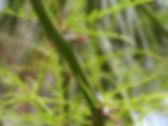 web_espina_de_jerusalen_1.jpg