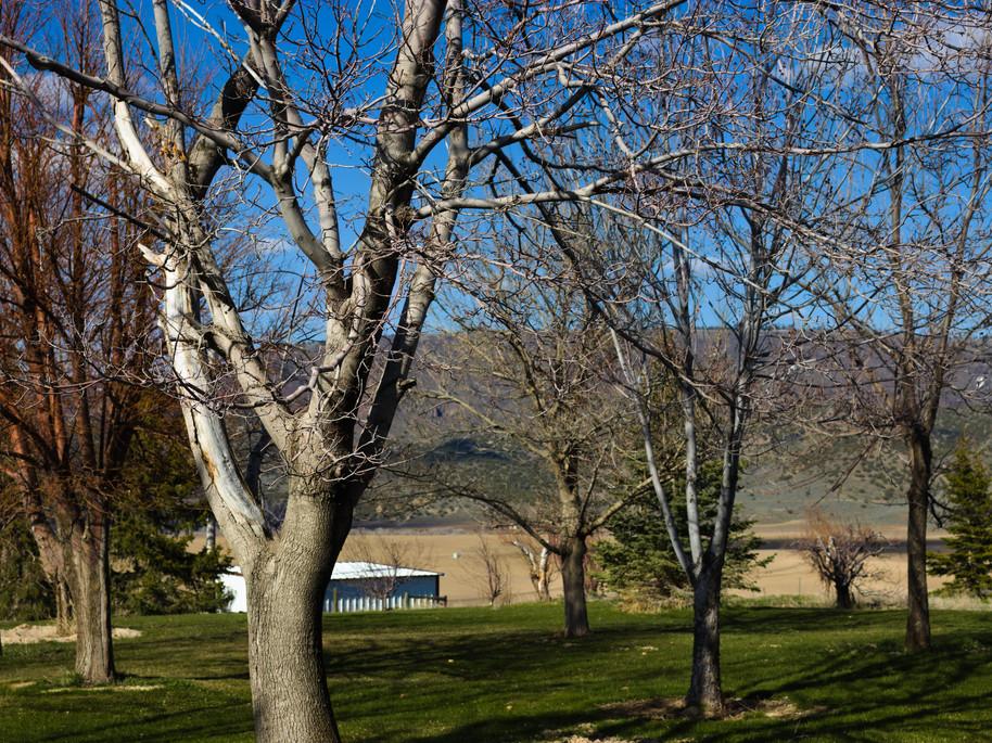 Large Maple trees