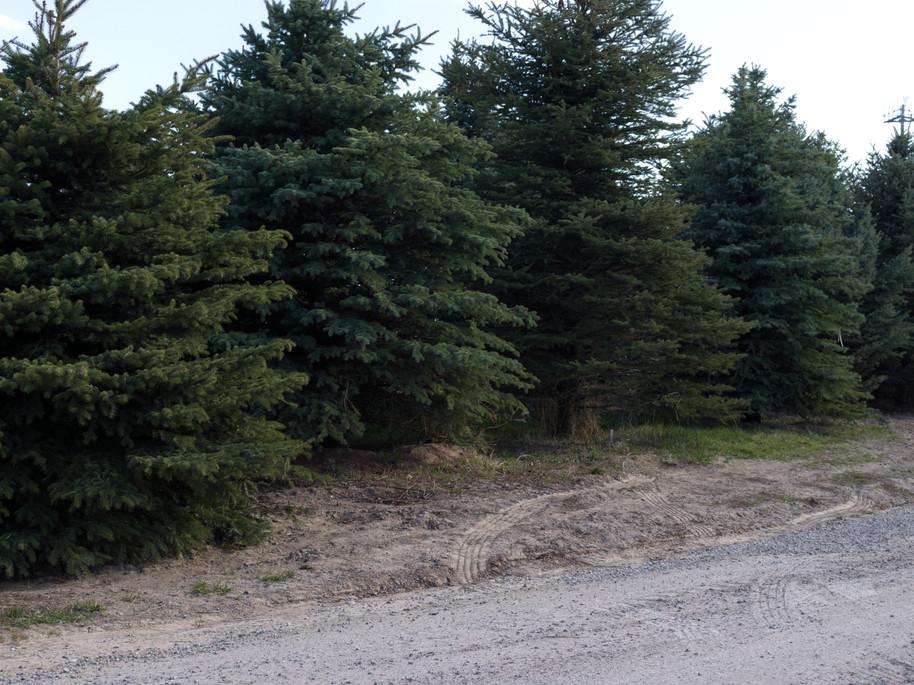 Spruce Tree Lineup