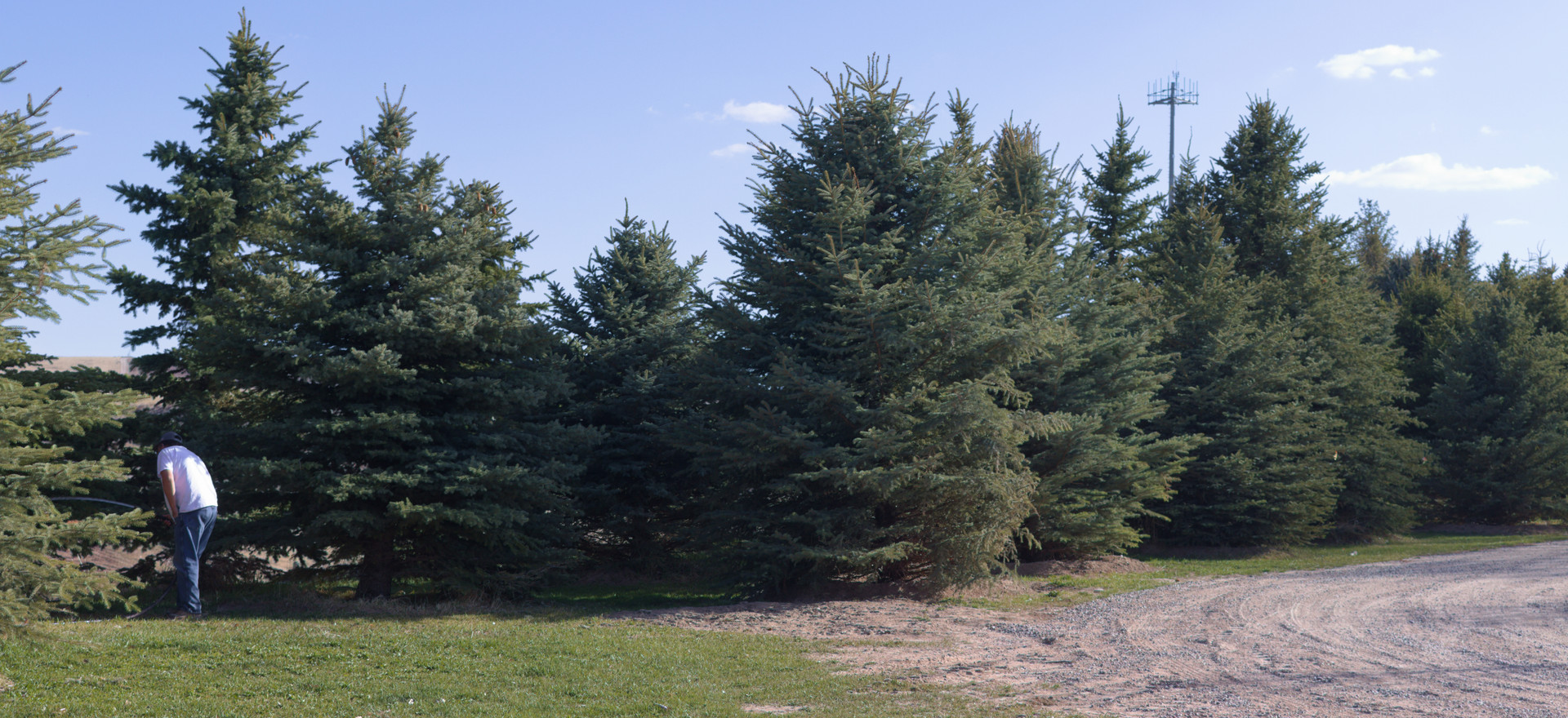 Large Spruce Trees
