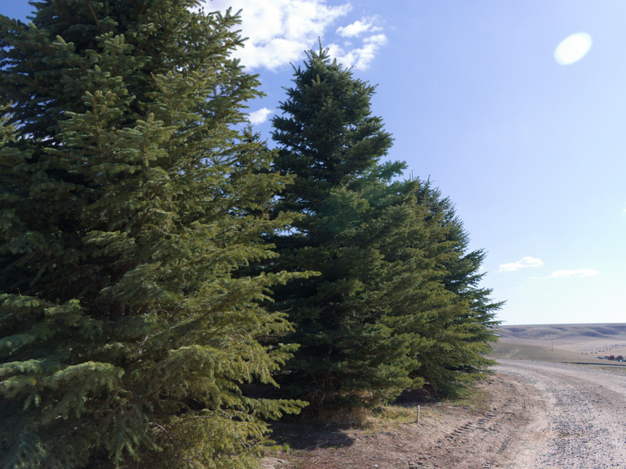 Full Spruce Trees