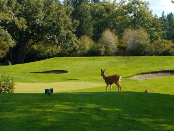 Deer on golf course
