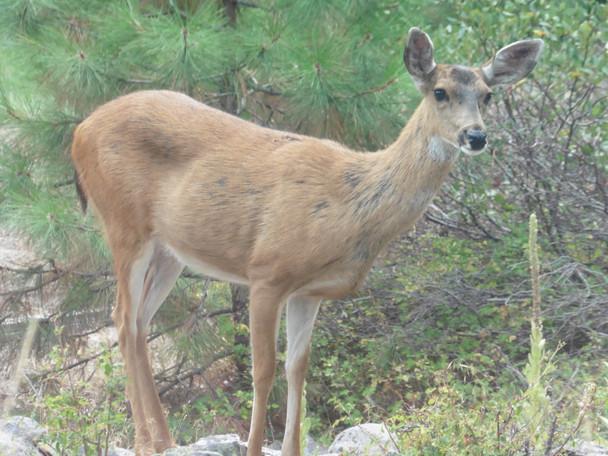 Deer in front yard