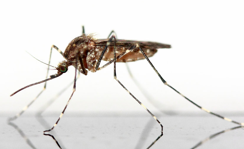 Disease Carrying Mosquito