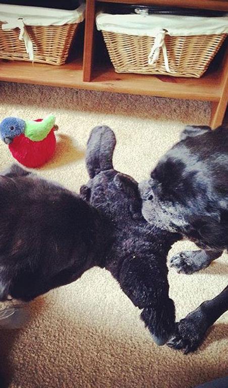 Pug-o-war_ #pugs #puglife #seattledogs #seattledogwalker #bestjobever