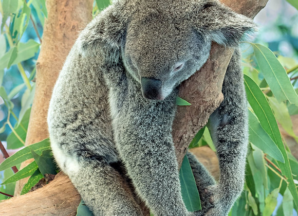"""Siesta"" A sleeping koala"